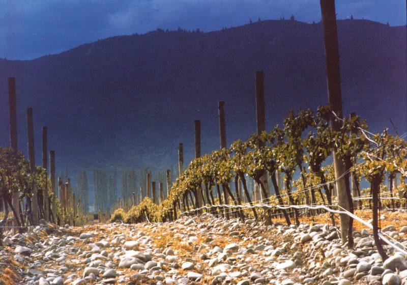 Hunter's Sauvignon Blanc Vineyard